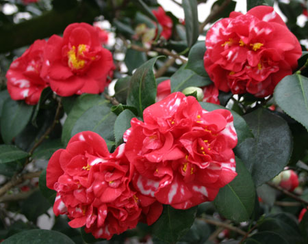 Camellia japonica Parksii at Chiswick House.