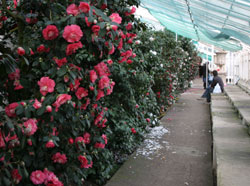 Rows of ancient camellias at Chiswick House.