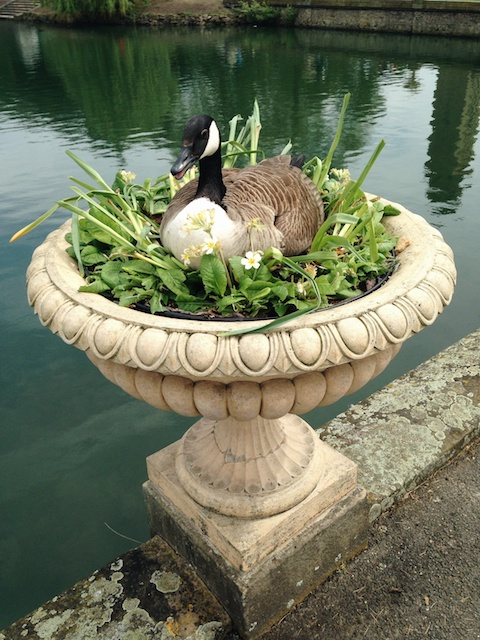 A Canada Goose sitting on a giant vase at Kew Gardens, London.